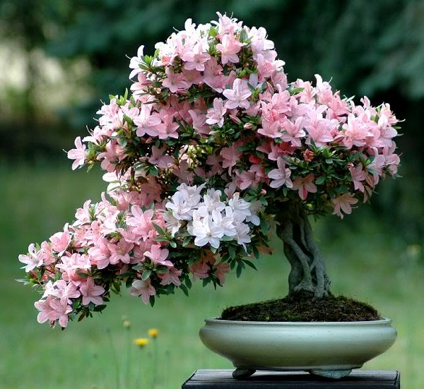 cuidados buganvilla en maceta. cmo cultivar ricas y bonitas