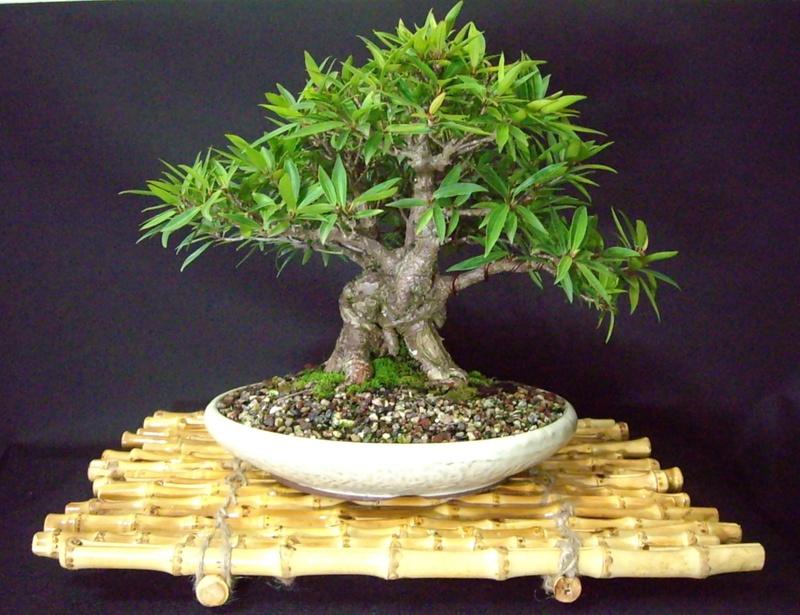 Bonsai en el tropico fichas de cultivo - Poda del laurel ...